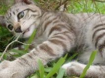 neva för maskaradnaja för kattunge för bakgrundsavelgreen liggande Arkivbild