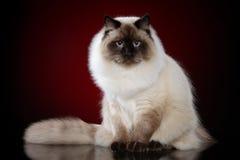 Кот masquerade Neva сибиряка стоковые изображения