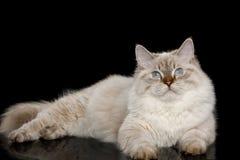 Neva Masquerade Cat on Black. Cute Neva Masquerade Cat with Blue Eyes Lying on Isolated Black Background Stock Image