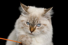 Neva Masquerade Cat on Black. Funny Portrait of Neva Masquerade Cat with Blue Eyes Curiosity Looking and catch a toy Isolated on Black Background Royalty Free Stock Photo