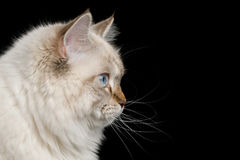 Neva Masquerade Cat on Black. Portrait of Neva Masquerade Cat with Blue Eyes in Profile view Isolated on Black Background Stock Image