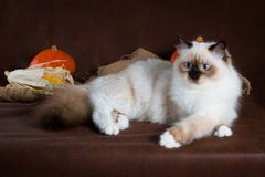 Neva masquerade cat on brown background. Pumpkins in a basket, autumn harvest. Cute neva masquerade kitten on brown background. Pumpkins in a basket, autumn Royalty Free Stock Image