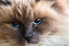 Neva Masquerade cat close portrait Stock Images
