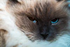 Neva Masquerade cat close portrait Stock Image