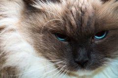 Neva Masquerade cat close portrait Stock Photos