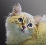 Neva Masquerade cat. Close-up of the Neva Masquerade cat on a gray background Royalty Free Stock Photography