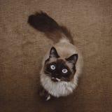 Neva Masquerade cat Stock Image