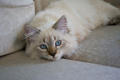 Siberian (Neva Masquerade) kitten 5 months old, with blue eyes Stock Photos