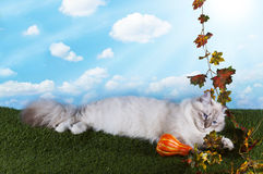 Neva Masquerade cat playing on grass bright autumn day Royalty Free Stock Images