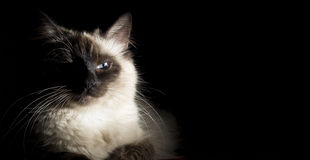 Neva Masquerade cat Royalty Free Stock Photography