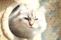 Neva masquerade cat of siberian breed,female Royalty Free Stock Photo