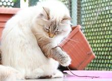 Neva masquerade cat of siberian breed,female Stock Image