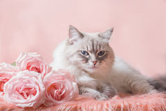 Neva masquerade cat Royalty Free Stock Images