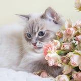Neva masquerade cat Stock Images