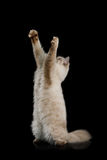 Neva Masquerade Cat sul nero Fotografie Stock