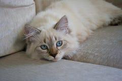 Neva Masquerade katt Kattunge 5 gamla månader, med genomdränkta blått e Arkivfoton