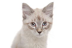 Neva Masquerade kitten Royalty Free Stock Photography