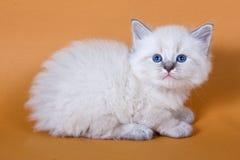Neva masquerade kitten Stock Photos