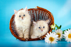 Neva masquerade  kitten in basket Stock Photography