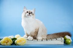 Neva masquerade kitten on blue background Royalty Free Stock Photography
