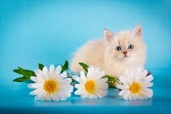 Neva masquerade kitten on blue background Stock Photos