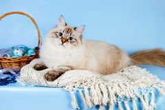 Neva masquerade kitten on blue background with easter eggs in a basket. Cute neva masquerade kitten on blue background Stock Images