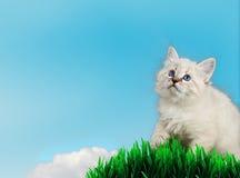Neva masquerade kitten blue background, spring theme Stock Photo