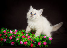 Neva masquerade kitten on brown background Royalty Free Stock Images