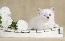 Neva masquerade kitten with flowers Stock Images