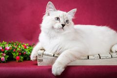 Neva masquerade kitten on red background Royalty Free Stock Photo