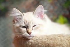 Neva masquerade kitten of siberian breed,female Royalty Free Stock Photo