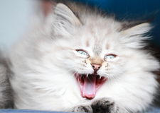 Neva masquerade puppy of siberian breed,yawning cat Royalty Free Stock Photography