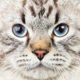Neva Masquerade Siberian kattstående arkivfoton