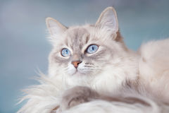 Neva Masquerade silver-tabby point cat Royalty Free Stock Photos