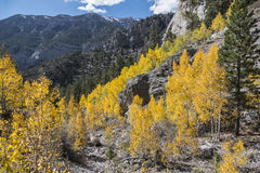 Nevada Aspens Royalty Free Stock Image