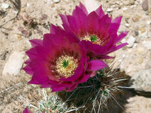 Nevada Cactus. Nevada desert cactus bloom at Red Rock Recreation area Royalty Free Stock Images