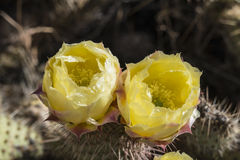 Nevada Cactus Flowers Stock Images