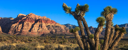 Nevada Desert. Joshua tree in Red Rock Canyon park, Nevada Royalty Free Stock Image