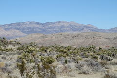 USA, Nevada: Desert Landscape With Yuccas Royalty Free Stock Image