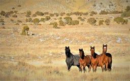 Nevada Dzicy konie Obrazy Stock