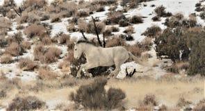 Nevada Dzicy konie Fotografia Stock