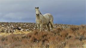 Nevada Dzicy konie Obraz Stock