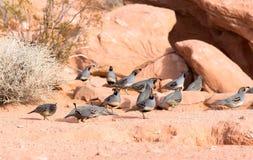 Nevada State Park: Vallei van Brand De kwartels van Gambel (Callipep Stock Foto