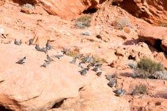 Nevada State Park: Vallei van Brand De kwartels van Gambel (Callipep Stock Afbeeldingen