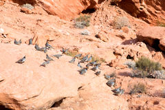 Nevada State Park: Valley of Fire.  The Gambel's quail (Callipep Stock Images