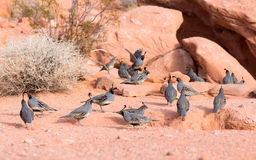 Nevada State Park: Valley of Fire.  The Gambel's quail (Callipep Stock Photography