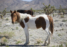 Nevada wild horse in the desert. Nevada wild horse with a paint colored coat standing in the desert stock images