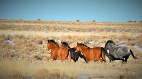 Nevada Wild Horses Immagine Stock