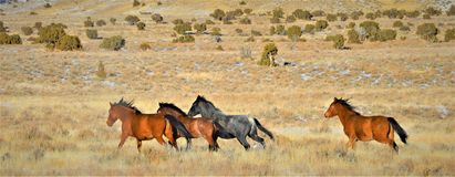 Nevada Wild Horses Images stock