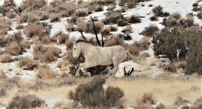 Nevada Wild Horses Photographie stock